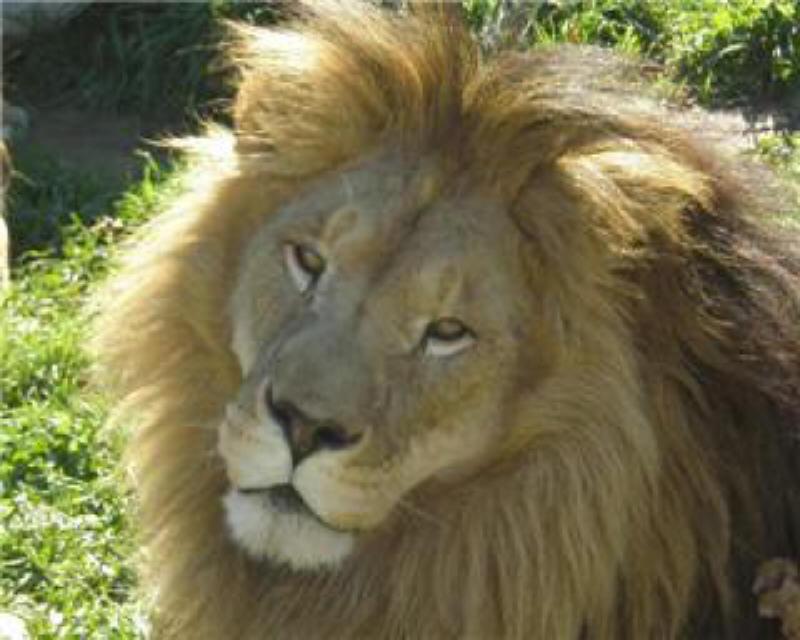 Sponsor a Lion