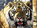 Feed a Tiger
