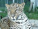 Sponsor a Leopard