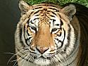 Sponsor a Tiger